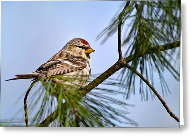 Greeting Card featuring the photograph Common Redpoll Bird by Christina Rollo