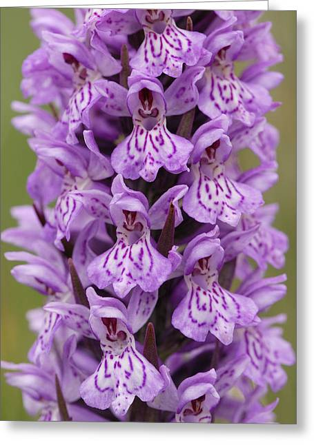 Common Spotted Orchid Greeting Card by Liz Pinchen