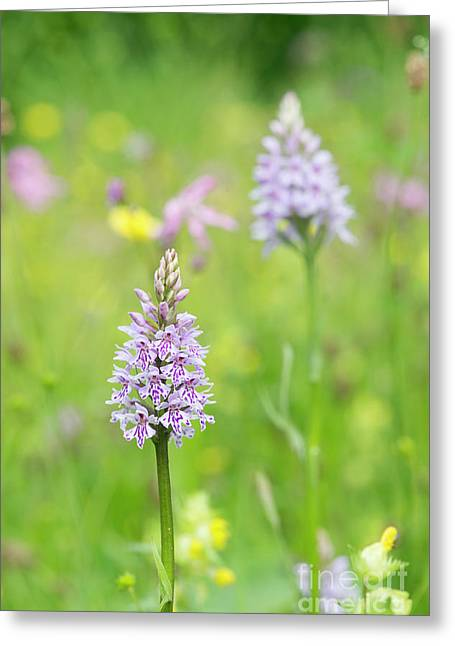 Common Spotted Orchid Greeting Card by Tim Gainey