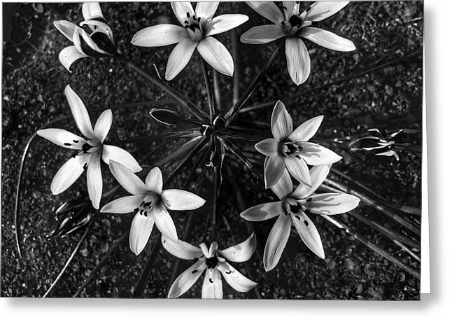 Common Star Of Bethlehem Greeting Card
