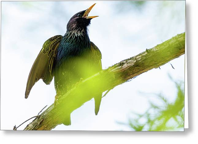 Common Starling On A Tree Branch Greeting Card by Catalin Petolea