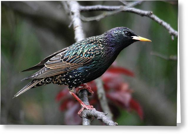 Common Starling Greeting Card by Trina Ansel
