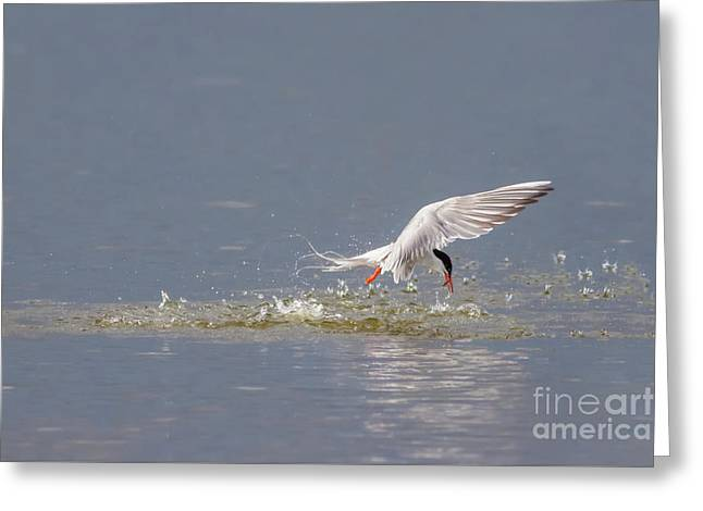 Common Tern - Sterna Hirundo - Emerging From The Water With A Fish Greeting Card
