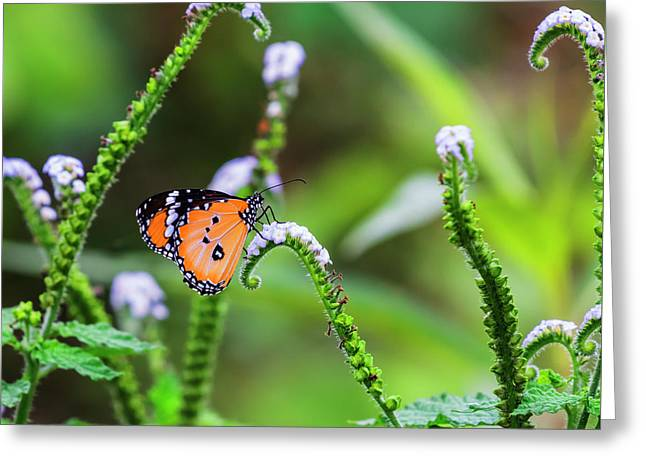 Common Tiger Butterfly And Flowers Greeting Card by Vishwanath Bhat