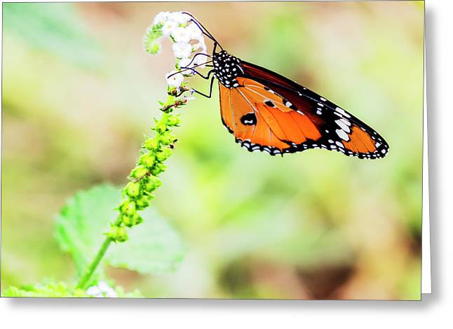 Common Tiger Butterfly Greeting Card by Vishwanath Bhat