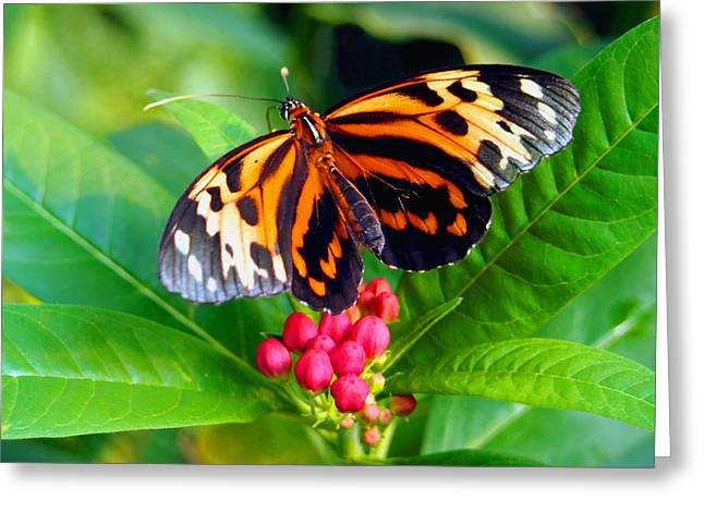 Common Tiger Glassywing Butterfly Greeting Card by Amy McDaniel
