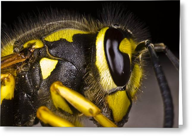 Common Wasp Vespula Vulgaris Close-up Greeting Card