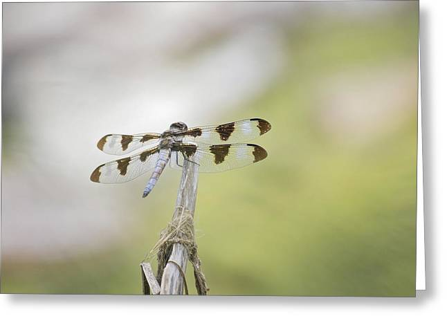 Common Whitetail Skimmer Greeting Card by Becca Buecher