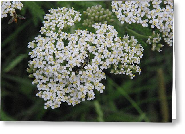Common Yarrow Closeup Greeting Card by Robyn Stacey