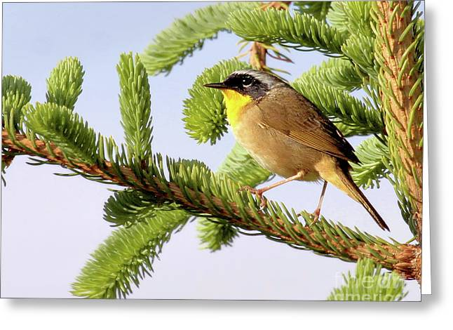 Common Yellow-throat Greeting Card