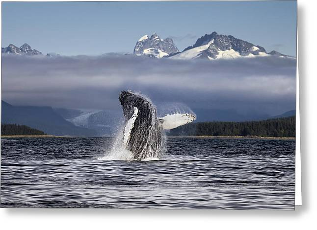 Composite. A Humpback Whale Breaches Greeting Card by John Hyde