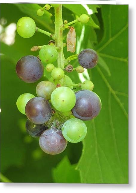 Concord Grapes On The Vine Greeting Card by Gina Sullivan