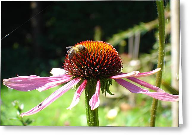 Cone Flower And Honey Bee Greeting Card