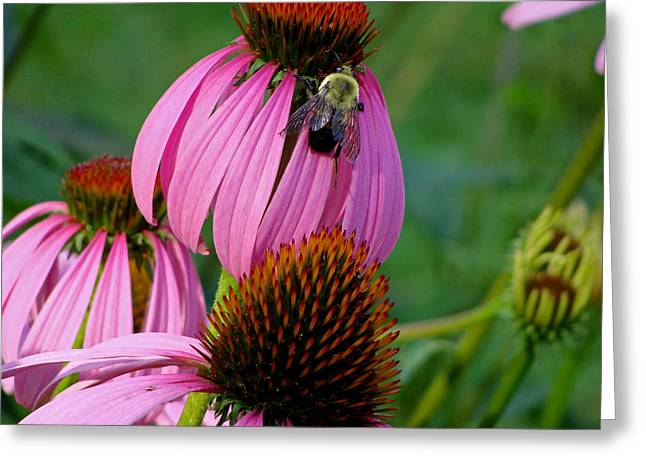 Cone Flower  Bumble Bee Macro Greeting Card by Martin Morehead