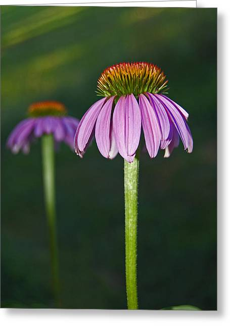 Greeting Card featuring the photograph Cone Flower by Elsa Marie Santoro