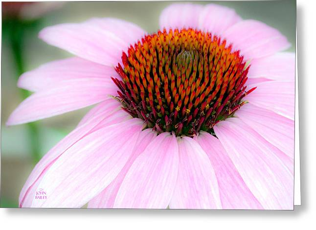 Cone Flower Greeting Card by John Bailey