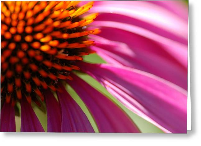 Cone Flower Greeting Card by Scott Gould