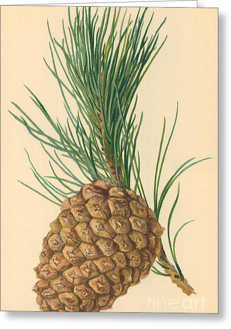 Cone Of Stone Pine Greeting Card by William Henry James Boot
