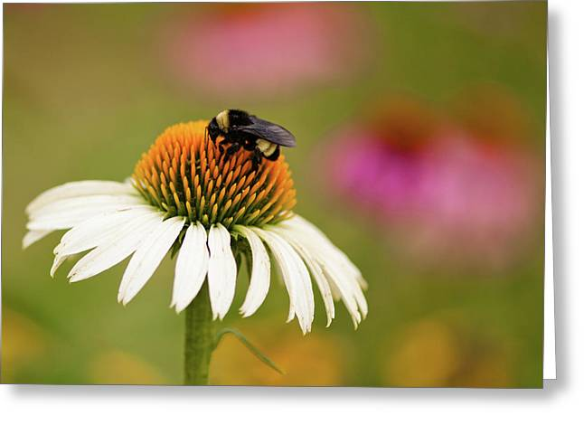 Coneflower And Bee Greeting Card