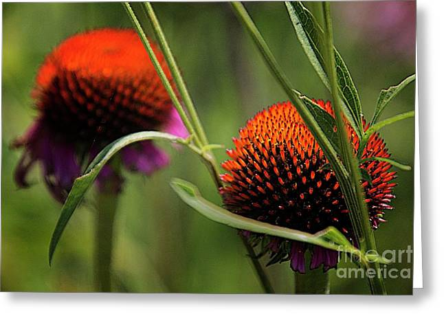 Coneflower Centers Greeting Card by Jim Wright
