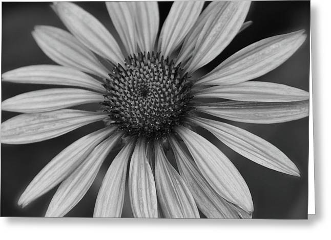 Coneflower In Black And White Greeting Card