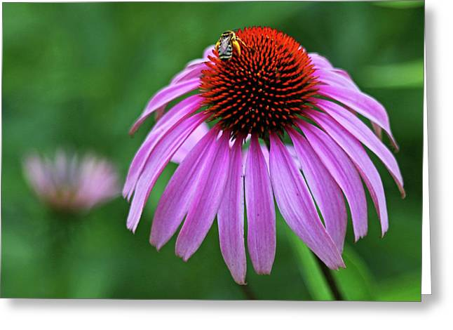 Greeting Card featuring the photograph Coneflower by Judy Vincent