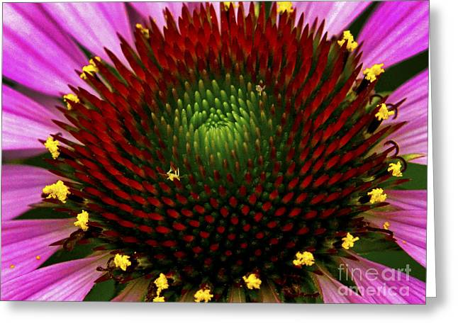Coneflower  Greeting Card by Paul W Faust - Impressions of Light