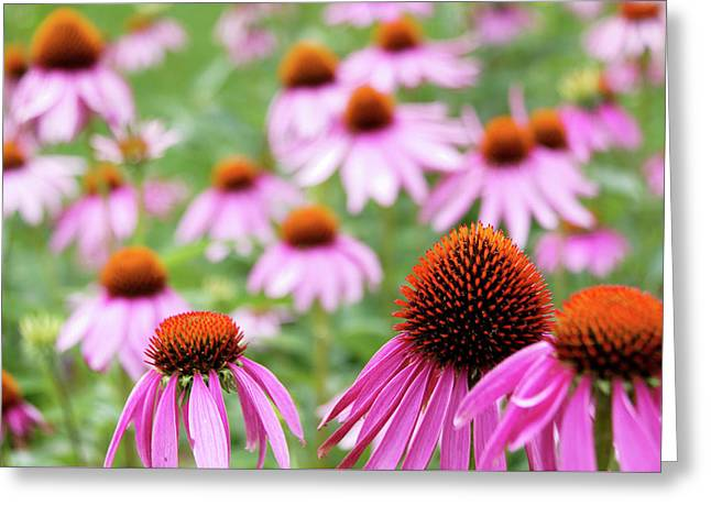 Greeting Card featuring the photograph Coneflowers by David Chandler