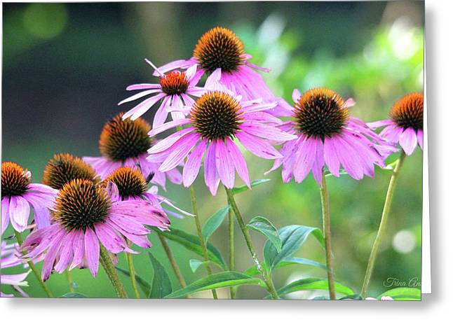 Greeting Card featuring the photograph Coneflowers by Trina Ansel