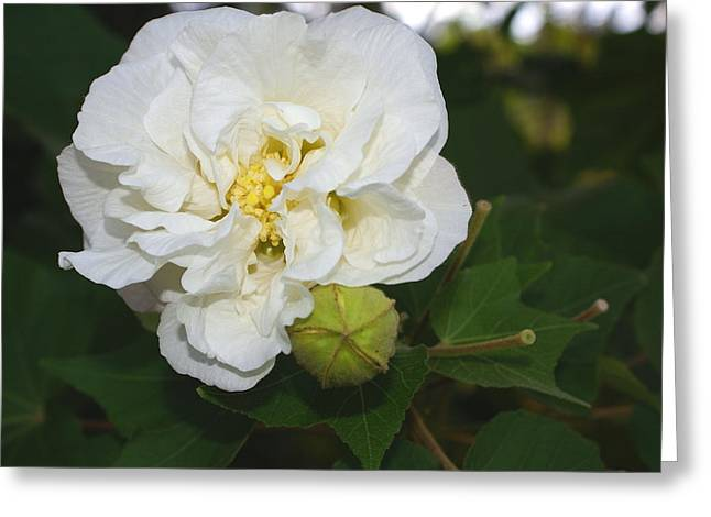 Confederate Rose Greeting Card by Debbie May