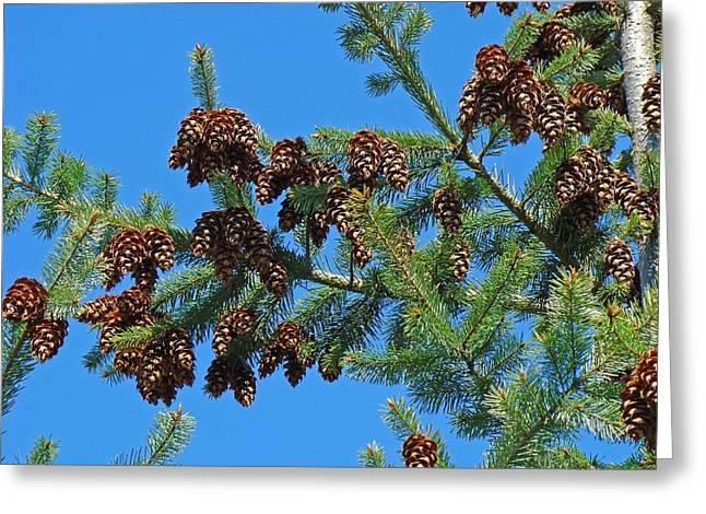 Pine Cones Greeting Cards - Conifer Forest Tree art print Nature Pine Cones Blue Sky Baslee Troutman Greeting Card by Baslee Troutman