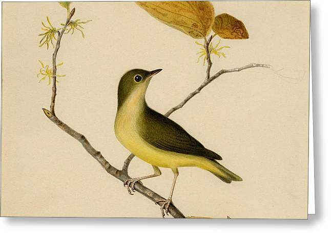 Connecticut Warbler Greeting Card by Celestial Images