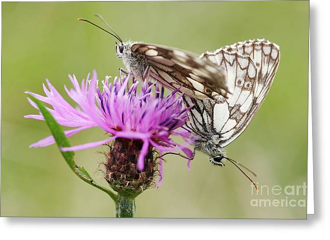 Contact - Butterflies On The Bloom Greeting Card by Michal Boubin