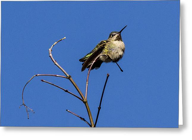 Contorted Humming Bird Greeting Card by Jean Noren