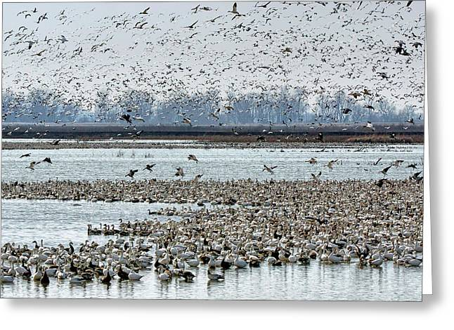 Controlled Chaos - Snow Geese Greeting Card by Nikolyn McDonald