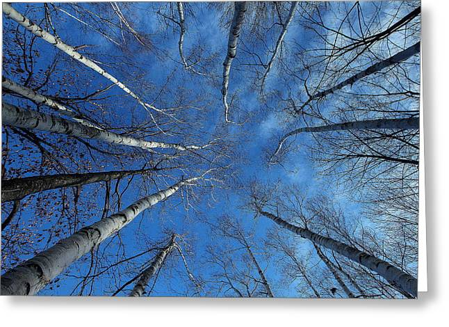 Converging White Birches Greeting Card