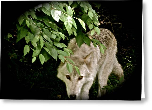 Wolf From The Forest Greeting Cards - Cool Spot Greeting Card by Debra     Vatalaro