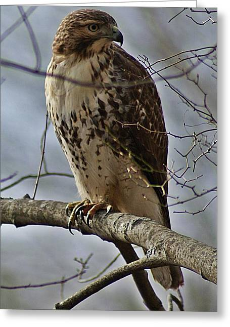 Cooper's Hawk 2 Greeting Card by Joe Faherty