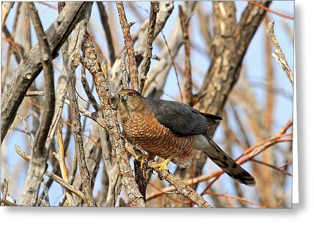 Greeting Card featuring the photograph Cooper's Hawk by Donna Kennedy