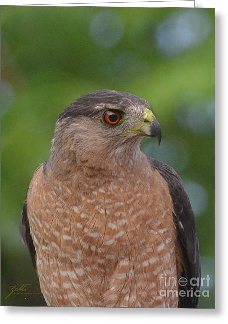 Cooper's Hawk II Greeting Card