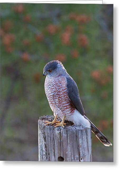 Coopers Hawk Perched Greeting Card