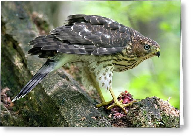 Coopers Hawk Greeting Card by Timothy McIntyre