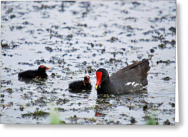 Coot Family Greeting Card by Teresa Blanton
