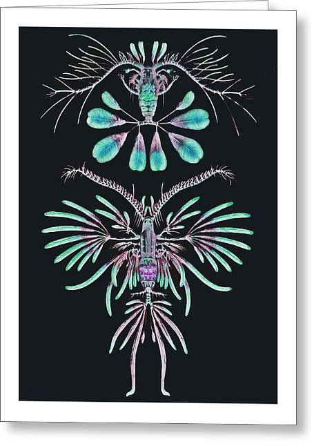 Copepods With Feathery Shapes Greeting Card by Diane Addis