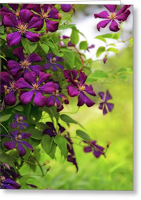 Copious Clematis Greeting Card
