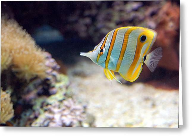 Greeting Card featuring the photograph Copper-banded Butterfly Fish by Kathleen Stephens