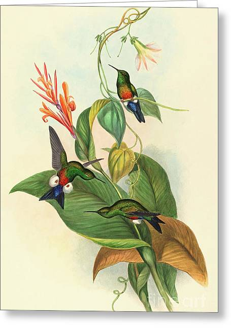 Coppery Vented Puff Leg Greeting Card by John Gould