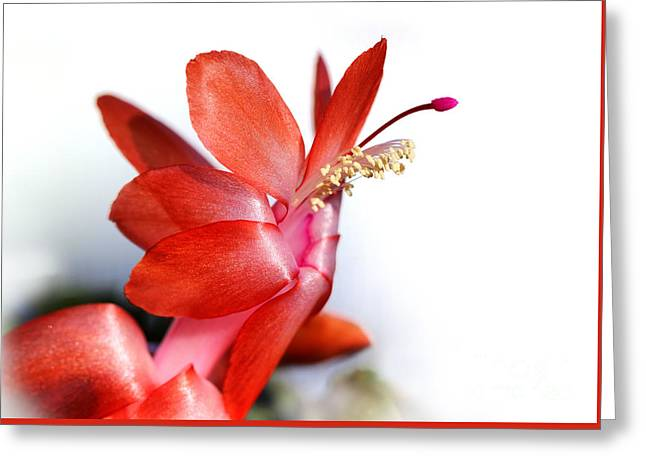 Coral Christmas Cactus With White Background Greeting Card by Karen Adams