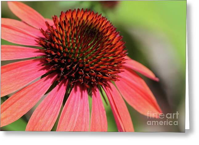 Coral Cone Flower Too Greeting Card by Sabrina L Ryan
