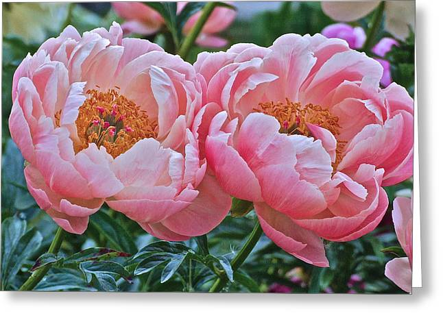 Coral Duo Peonies Greeting Card